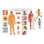 Corpul omenesc (plansa)